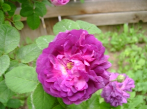 cardinal de richelieu, the most beautiful rose ever