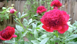 peonies in happier days